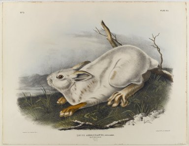 John J. Audubon (American, 1785-1851). Northern Hare (Winter Pelage). Lithograph, 21 x 27 in. (53.3 x 68.6 cm). Brooklyn Museum, Gift of the Estate of Emily Winthrop Miles, 64.98.28
