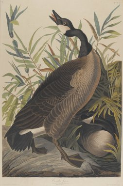 John J. Audubon (American, 1785-1851). Canada Goose. Aquatint, Sheet: 35 3/4 x 24 3/4 in. (90.8 x 62.9 cm). Brooklyn Museum, Gift of the Estate of Emily Winthrop Miles, 64.98.2