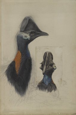 John Gould (British, 1804-1881). Casuarius Westerman, 1873. Pencil and watercolor wash on wove paper, 22 1/4 x 15 1/4 in. (56.5 x 38.7 cm). Brooklyn Museum, Gift of the Estate of Emily Winthrop Miles, 64.98.307