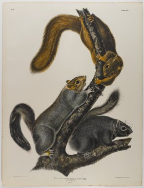 John J. Audubon (American, 1785-1851). Cat Squirrel. Lithograph, 27 x 21 in. (68.6 x 53.3 cm). Brooklyn Museum, Gift of the Estate of Emily Winthrop Miles, 64.98.30