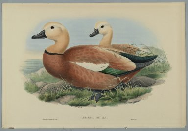 John Gould (British, 1804-1881). Casarca Rutila. Color lithograph, 14 1/2 x 21 1/4 in. (36.8 x 54 cm). Brooklyn Museum, Gift of the Estate of Emily Winthrop Miles, 64.98.311