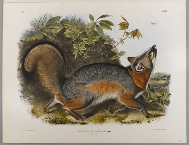 John J. Audubon (American, 1785-1851). Grey Fox. Lithograph, 21 7/8 x 28 in. (55.6 x 71.1 cm). Brooklyn Museum, Gift of the Estate of Emily Winthrop Miles, 64.98.31
