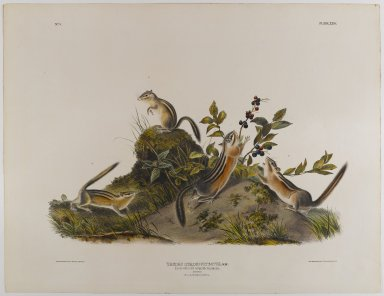 John J. Audubon (American, 1785-1851). Four-Striped Ground Squirrel. Lithograph, 21 x 27 in. (53.3 x 68.6 cm). Brooklyn Museum, Gift of the Estate of Emily Winthrop Miles, 64.98.33
