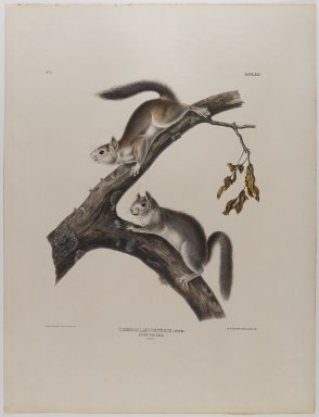 John J. Audubon (American, 1785-1851). Downy Squirrel. Lithograph, 21 x 27 in. (53.3 x 68.6 cm). Brooklyn Museum, Gift of the Estate of Emily Winthrop Miles, 64.98.34