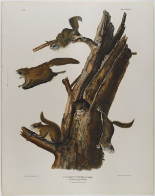 John J. Audubon (American, 1785-1851). Common Flying Squirrel. Lithograph, 28 x 21 7/8 in. (71.1 x 55.6 cm). Brooklyn Museum, Gift of the Estate of Emily Winthrop Miles, 64.98.36
