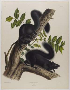 John J. Audubon (American, 1785-1851). Black Squirrel. Lithograph, 27 x 21 in. (68.6 x 53.3 cm). Brooklyn Museum, Gift of the Estate of Emily Winthrop Miles, 64.98.37