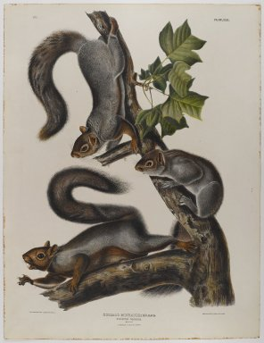 John James  Audubon (American, born Haiti, 1785-1851). Migratory Squirrel. Lithograph, 27 x 21 in. (68.6 x 53.3 cm). Brooklyn Museum, Gift of the Estate of Emily Winthrop Miles, 64.98.38