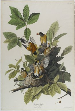 John J. Audubon (American, 1785-1851). American Robin, 1832. Aquatint in color, approx.: 27 x 40 in. (68.6 x 101.6 cm). Brooklyn Museum, Gift of the Estate of Emily Winthrop Miles, 64.98.3