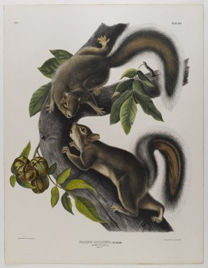 John J. Audubon (American, 1785-1851). Hare Squirrel. Lithograph, 27 x 21 in. (68.6 x 53.3 cm). Brooklyn Museum, Gift of the Estate of Emily Winthrop Miles, 64.98.41