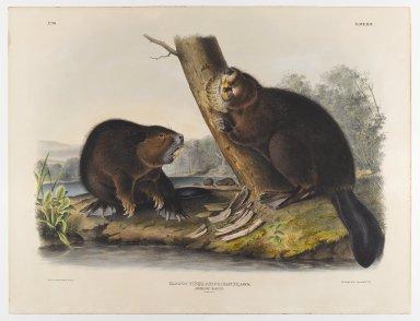 John J. Audubon (American, 1785-1851). American Beaver, 1844. Lithograph, 21 x 27 in. (53.3 x 68.6 cm). Brooklyn Museum, Gift of the Estate of Emily Winthrop Miles, 64.98.42
