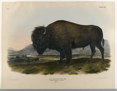 John J. Audubon (American, 1785-1851). American Bison or Buffalo. Lithograph, 21 x 26 1/2 in. (53.3 x 67.3 cm). Brooklyn Museum, Gift of the Estate of Emily Winthrop Miles, 64.98.45