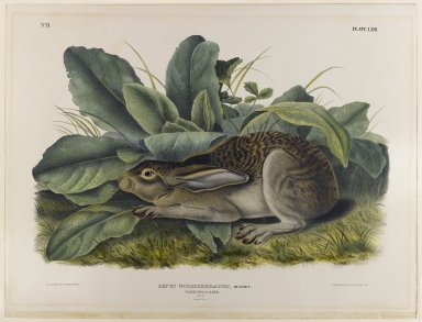John James  Audubon (American, born Haiti, 1785-1851). Black-Tailed Hare. Lithograph, 27 x 21 in. (68.6 x 53.3 cm). Brooklyn Museum, Gift of the Estate of Emily Winthrop Miles, 64.98.47
