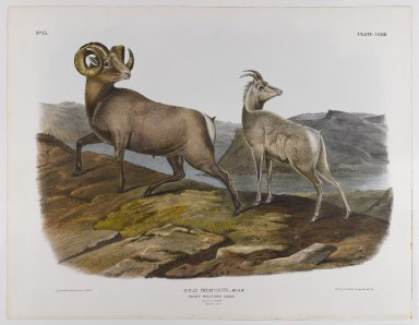 John J. Audubon (American, 1785-1851). Rocky Mountain Sheep, 1845. Lithograph, 21 x 27 in. (53.3 x 68.6 cm). Brooklyn Museum, Gift of the Estate of Emily Winthrop Miles, 64.98.50