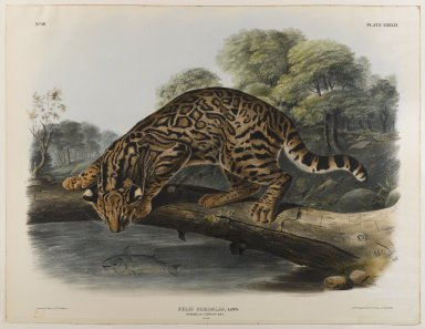 John James  Audubon (American, born Haiti, 1785-1851). Ocelot or Leopard-Cat. Lithograph, 27 x 21 in. (68.6 x 53.3 cm). Brooklyn Museum, Gift of the Estate of Emily Winthrop Miles, 64.98.53