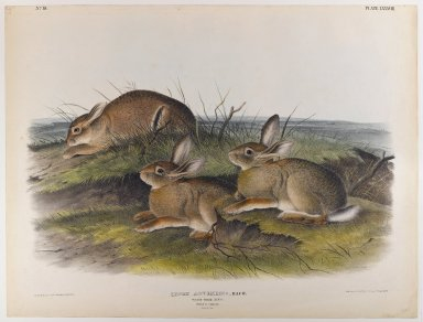 John James  Audubon (American, born Haiti, 1785-1851). Worm Wood Hare. Lithograph, 21 x 27 in. (53.3 x 68.6 cm). Brooklyn Museum, Gift of the Estate of Emily Winthrop Miles, 64.98.54