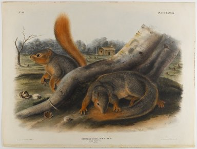 John J. Audubon (American, 1785-1851). Say's Squirrel. Lithograph, 21 x 27 in. (53.3 x 68.6 cm). Brooklyn Museum, Gift of the Estate of Emily Winthrop Miles, 64.98.55