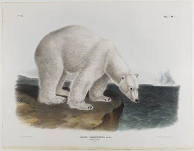 John J. Audubon (American, 1785-1851). Polar Bear. Lithograph, 21 x 27 in. (53.3 x 68.6 cm). Brooklyn Museum, Gift of the Estate of Emily Winthrop Miles, 64.98.56