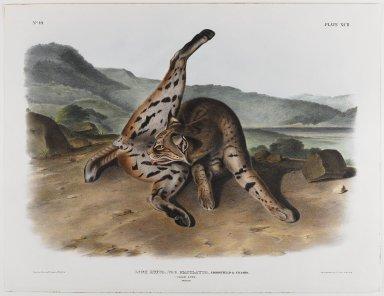 John J. Audubon (American, 1785-1851). Texan Lynx. Lithograph, 21 x 27 in. (53.3 x 68.6 cm). Brooklyn Museum, Gift of the Estate of Emily Winthrop Miles, 64.98.57