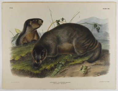 John James  Audubon (American, born Haiti, 1785-1851). Hoary Marmot - The Whistler. Lithograph, 21 x 27 in. (53.3 x 68.6 cm). Brooklyn Museum, Gift of the Estate of Emily Winthrop Miles, 64.98.58