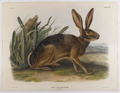 Brooklyn Museum: California Hare