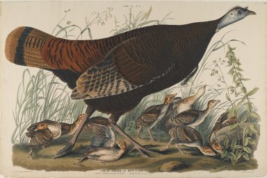 John J. Audubon (American, 1785-1851). Great American Hen and Young. Aquatint, Sheet: 26 1/4 x 39 3/4 in. (66.7 x 101 cm). Brooklyn Museum, Gift of the Estate of Emily Winthrop Miles, 64.98.5