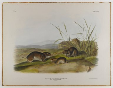 John James  Audubon (American, born Haiti, 1785-1851). Yellow-Cheeked Meadow Mouse. Lithograph, 21 x 27 in. (53.3 x 68.6 cm). Brooklyn Museum, Gift of the Estate of Emily Winthrop Miles, 64.98.60