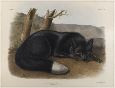 John J. Audubon (American, 1785-1851). American Black or Silver Fox. Lithograph, 21 x 27 in. (53.3 x 68.6 cm). Brooklyn Museum, Gift of the Estate of Emily Winthrop Miles, 64.98.61