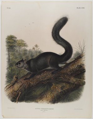 John J. Audubon (American, 1785-1851). Dusky Squirrel. Lithograph, 27 x 21 in. (68.6 x 53.3 cm). Brooklyn Museum, Gift of the Estate of Emily Winthrop Miles, 64.98.62
