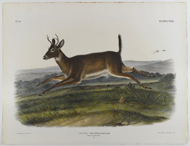 John J. Audubon (American, 1785-1851). Long-Tailed Deer, 1847. Lithograph, 21 x 27 in. (53.3 x 68.6 cm). Brooklyn Museum, Gift of the Estate of Emily Winthrop Miles, 64.98.63