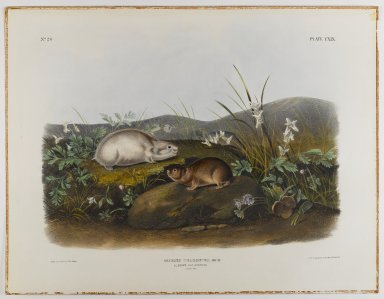 John J. Audubon (American, 1785-1851). Hudson's Bay Lemming. Lithograph, 21 x 27 in. (53.3 x 68.6 cm). Brooklyn Museum, Gift of the Estate of Emily Winthrop Miles, 64.98.64