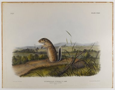 John J. Audubon (American, 1785-1851). Mexican Marmot Squirrel. Lithograph, 21 x 27 in. (53.3 x 68.6 cm). Brooklyn Museum, Gift of the Estate of Emily Winthrop Miles, 64.98.66
