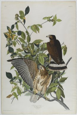John J. Audubon (American, 1785-1851). Broad Winged Hawk, 1830. Aquatint, approx.: 27 x 40 in. (68.6 x 101.6 cm). Brooklyn Museum, Gift of the Estate of Emily Winthrop Miles, 64.98.6