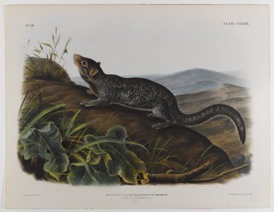 John James  Audubon (American, born Haiti, 1785-1851). Large-Tailed Spermophile. Lithograph, 21 x 27 in. (53.3 x 68.6 cm). Brooklyn Museum, Gift of the Estate of Emily Winthrop Miles, 64.98.70