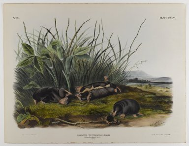 John J. Audubon (American, 1785-1851). Townsend's Shrew Mole. Lithograph, 21 x 27 in. (53.3 x 68.6 cm). Brooklyn Museum, Gift of the Estate of Emily Winthrop Miles, 64.98.72