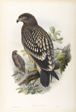 John Gould (British, 1804-1881). Aquila Naevia - Spotted Eagle. Lithograph on wove paper, Sheet: 21 1/4 x 14 1/2 in. (54 x 36.8 cm). Brooklyn Museum, Gift of the Estate of Emily Winthrop Miles, 64.98.74