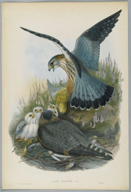 John Gould (British, 1804-1881). Falco Aesalon - Merlin. Lithograph on wove paper, Sheet: 21 1/4 x 14 1/2 in. (54 x 36.8 cm). Brooklyn Museum, Gift of the Estate of Emily Winthrop Miles, 64.98.76