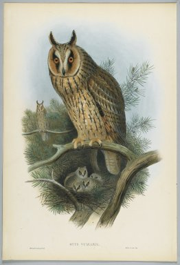 John Gould (British, 1804-1881). Otus Vulgaris - Long-Eared Owl. Lithograph on wove paper, Sheet: 21 1/4 x 14 1/2 in. (54 x 36.8 cm). Brooklyn Museum, Gift of the Estate of Emily Winthrop Miles, 64.98.78