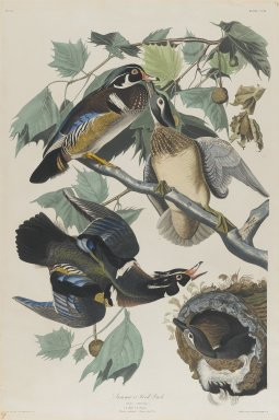 John J. Audubon (American, 1785-1851). Summer or Wood Duck, 1834. Black-ink etching, aquatint and engraving toned by hand with opaque and transparent watercolors, Sheet: 38 1/2 x 25 3/4 in. (97.8 x 65.4 cm). Brooklyn Museum, Gift of the Estate of Emily Winthrop Miles, 64.98.7
