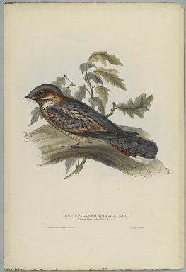 John Gould (British, 1804-1881). Caprimulgus Rugicollis. Lithograph on wove paper, Sheet: 21 1/4 x 14 1/2 in. (54 x 36.8 cm). Brooklyn Museum, Gift of the Estate of Emily Winthrop Miles, 64.98.81