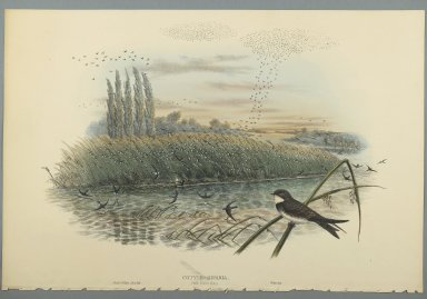 John Gould (British, 1804-1881). Cotyle Riparia. Lithograph on wove paper, Sheet: 21 1/4 x 14 1/2 in. (54 x 36.8 cm). Brooklyn Museum, Gift of the Estate of Emily Winthrop Miles, 64.98.82