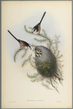 John Gould (British, 1804-1881). Mecistura Caudata - Long-Tailed Tit. Lithograph on wove paper, Sheet: 21 1/4 x 14 1/2 in. (54 x 36.8 cm). Brooklyn Museum, Gift of the Estate of Emily Winthrop Miles, 64.98.83