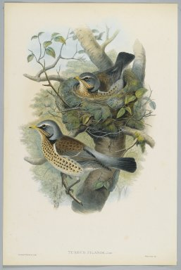 John Gould (British, 1804-1881). Turdus Pilarus - Field Fare. Lithograph on wove paper, Sheet: 21 1/4 x 14 1/2 in. (54 x 36.8 cm). Brooklyn Museum, Gift of the Estate of Emily Winthrop Miles, 64.98.85