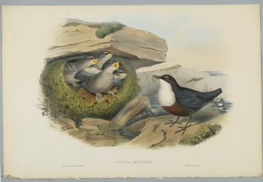 John Gould (British, 1804-1881). Cinclus Aquaticus - Water Ousel or Dipper. Lithograph on wove paper, Sheet: 21 1/4 x 14 1/2 in. (54 x 36.8 cm). Brooklyn Museum, Gift of the Estate of Emily Winthrop Miles, 64.98.86