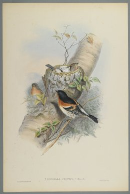 John Gould (British, 1804-1881). Fringilla Montifringilla - Bramblefinsh. Lithograph on wove paper, Sheet: 21 1/4 x 14 1/2 in. (54 x 36.8 cm). Brooklyn Museum, Gift of the Estate of Emily Winthrop Miles, 64.98.91