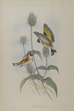 John Gould (British, 1804-1881). Carduelis Elegans - Goldfinch. Lithograph on wove paper, Sheet: 21 1/4 x 14 1/2 in. (54 x 36.8 cm). Brooklyn Museum, Gift of the Estate of Emily Winthrop Miles, 64.98.92