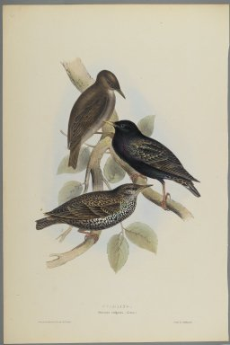 John Gould (British, 1804-1881). Sturnus Vulgaris - Starling. Lithograph on wove paper, Sheet: 21 1/4 x 14 in. (54 x 35.6 cm). Brooklyn Museum, Gift of the Estate of Emily Winthrop Miles, 64.98.94a-b