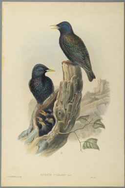 John Gould (British, 1804-1881). Starling: Sturnus Vulgaris, (Linn). Lithograph on wove paper, Sheet: 20 3/4 x 13 3/4 in. (52.7 x 34.9 cm). Brooklyn Museum, Gift of the Estate of Emily Winthrop Miles, 64.98.96