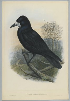 John Gould (British, 1804-1881). Corvus Frugilegus - Rook. Lithograph on wove paper, Sheet: 21 1/4 x 14 1/2 in. (54 x 36.8 cm). Brooklyn Museum, Gift of the Estate of Emily Winthrop Miles, 64.98.97