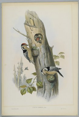 John Gould (British, 1804-1881). Picus Minor - Lesser Spotted Woodpecker. Lithograph on wove paper, Sheet: 21 1/4 x 14 1/2 in. (54 x 36.8 cm). Brooklyn Museum, Gift of the Estate of Emily Winthrop Miles, 64.98.99