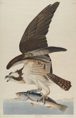 John J. Audubon (American, 1785-1851). Fish Hawk, 1830. Aquatint, Sheet: 37 3/4 x 24 in. (95.9 x 61 cm). Brooklyn Museum, Gift of the Estate of Emily Winthrop Miles, 64.98.9
